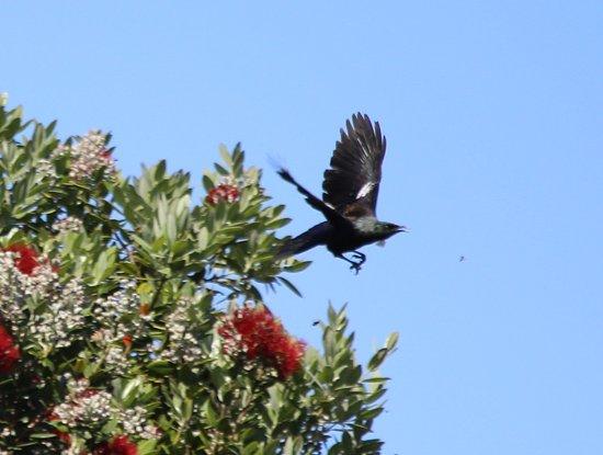 เปเฮีย, นิวซีแลนด์: Tui and pohutukawa tree