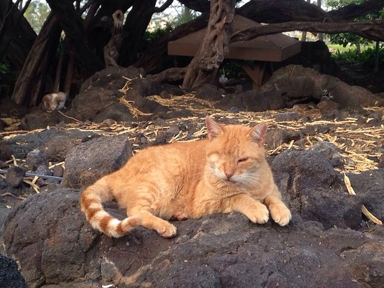 Waikoloa, HI: Cats!!! For some reason there is a colony of cats at this beach! I'm not sure how friendly they