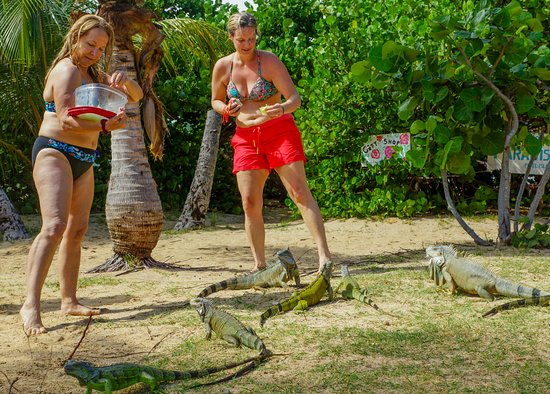 Simpson Bay, St Marteen/St. Martin: Pinel Island Iguanas