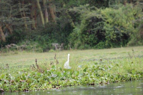 Rift Valley Province, Kenya: pelican