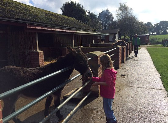Verwood, UK: Feeding the donkeys at the Dorset Heavy Horse farm park