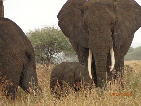 Область Аруша, Танзания: Elephant feeding in Serengeti National Park
