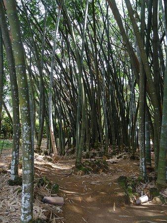 Bambus Hain Picture Of Royal Botanical Gardens Peradeniya