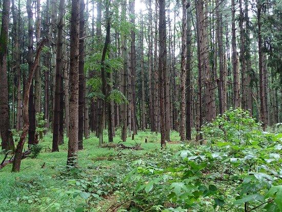 Westampton, NJ: Conifer Plantation