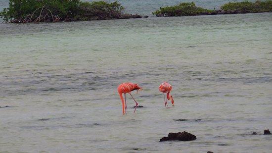 Kralendijk, Bonaire: pink flamingos