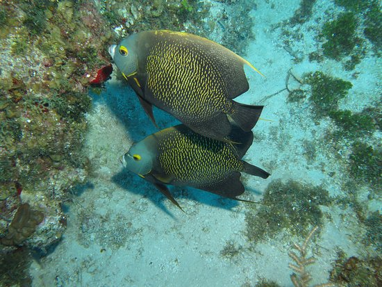 Western Wall: A couple of French Angel Fish