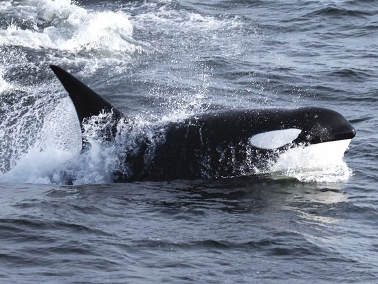 Nanaimo, Canada: Orca seen from on board