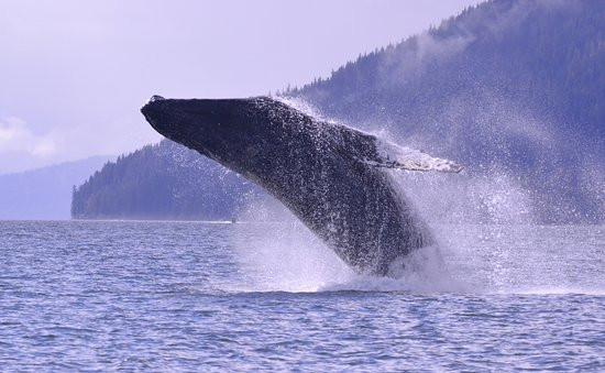 Petersburg, AK: Humback whales love to jump (breach).