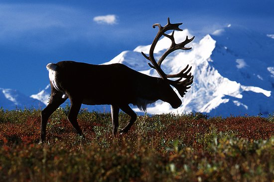 Denali Backcountry Lodge : Caribou on the road to Kantishna