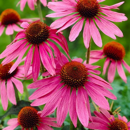 Lansing, Estado de Nueva York: Purple Coneflowers in the sun.