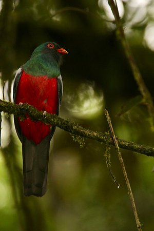 Sarapiqui, كوستاريكا: Slaty-tailed Trogon
