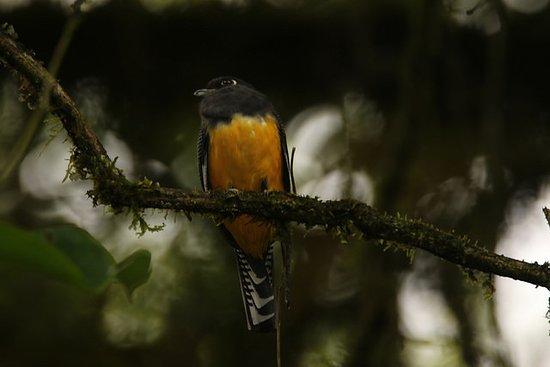 Sarapiqui, كوستاريكا: Gartered Trogon