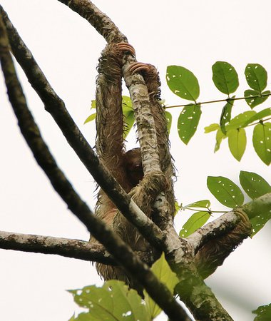 Sarapiqui, كوستاريكا: Three-toed Sloth