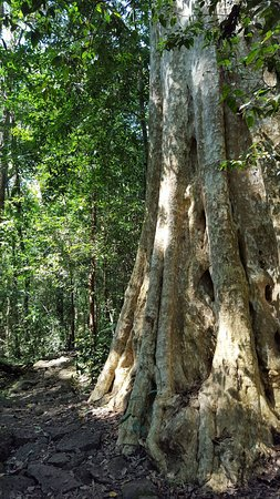 Dong Nai Province, Vietnam: in Cat Tien national park, there are many huge trees