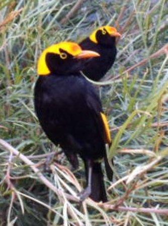 Canungra, Australia: Regent Bowerbirds arriving for feeding