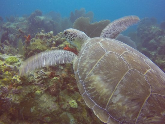 St. Kitts and Nevis: Turtle