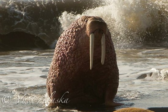 Wasilla, AK: Walrus haul out that few get to see
