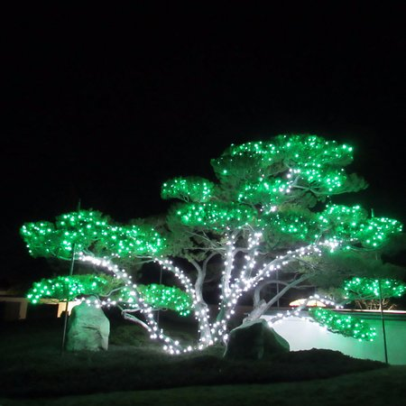 Lethbridge, Canadá: One of our mugo pines decorated