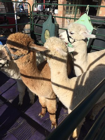 Suncrest Orchard Alpacas Foto