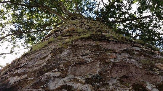 Coromandel, Selandia Baru: Kauri tree