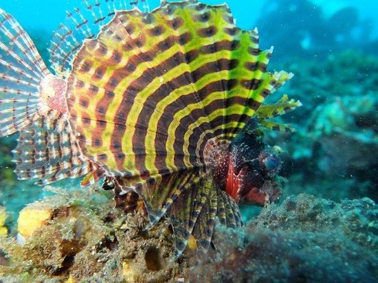 tulamben renovias fish