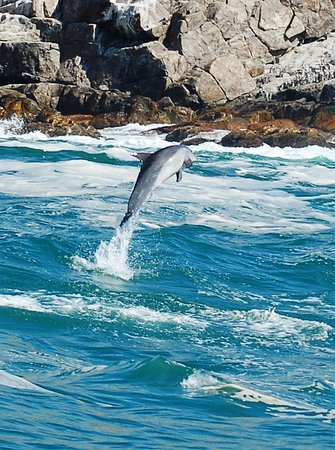 Port Elizabeth, Sudáfrica: Plenty of dolphins around the islands and in open water.