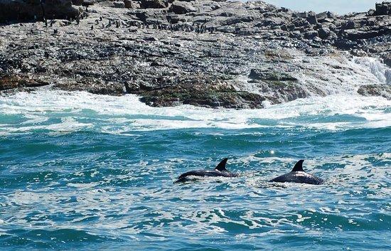 Port Elizabeth, Sør-Afrika: Dolphins and penguins in one pic!