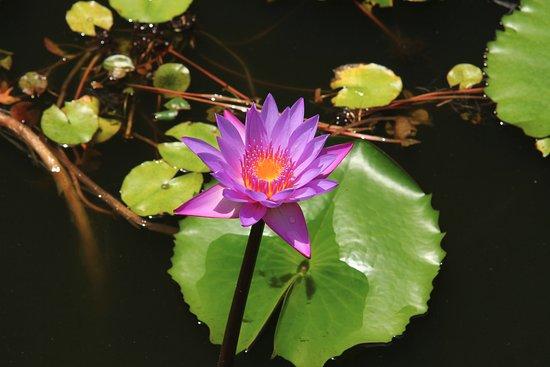 Dambulla, Sri Lanka: Blommor i dammen på berget