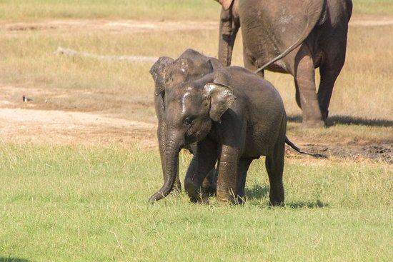 Habarana, Sri Lanka: Små elefanter