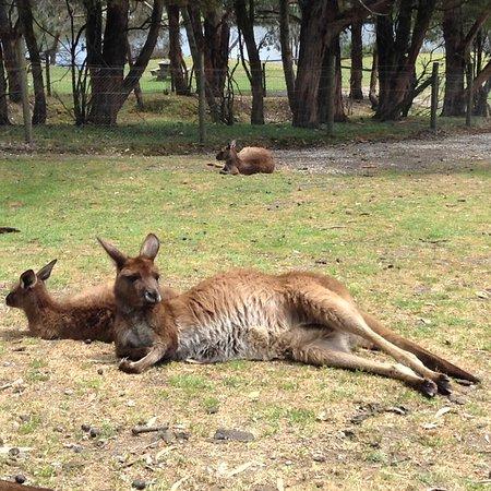 Ballarat, Australia: кенгуру