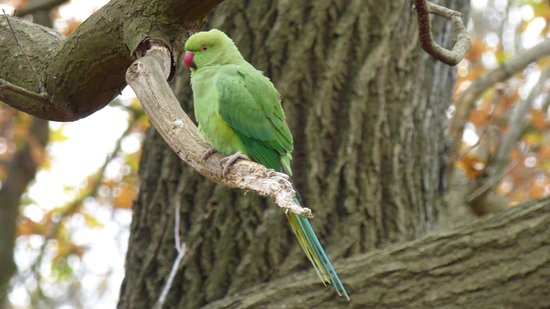 Richmond-upon-Thames, UK: Parakeet in the park
