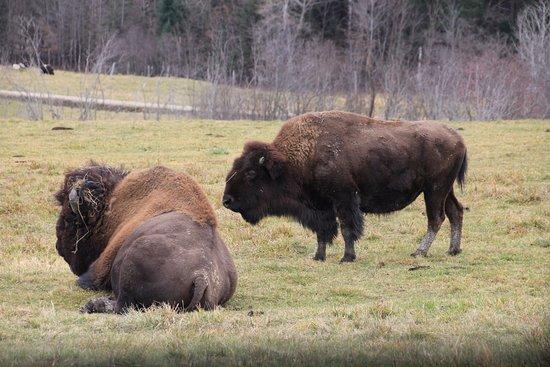 Montebello, Canada: Bison