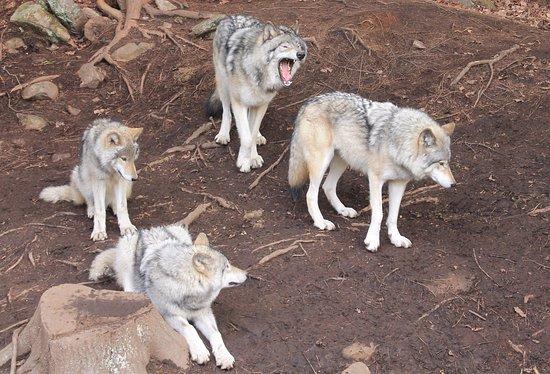 มอนเตเบลโล, แคนาดา: Wolves
