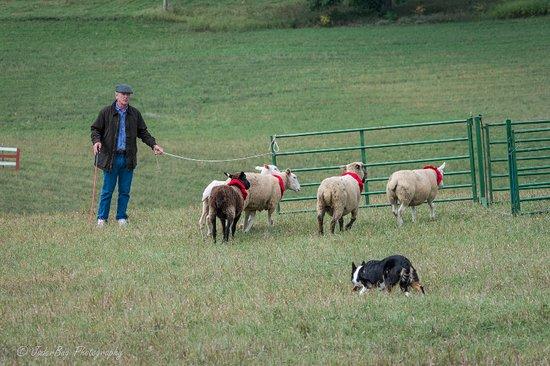 Hudson, WI: Handler penning sheep with his dog