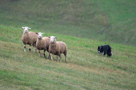 "Hudson, WI: Border collie ""driving"" sheep at Badlands"