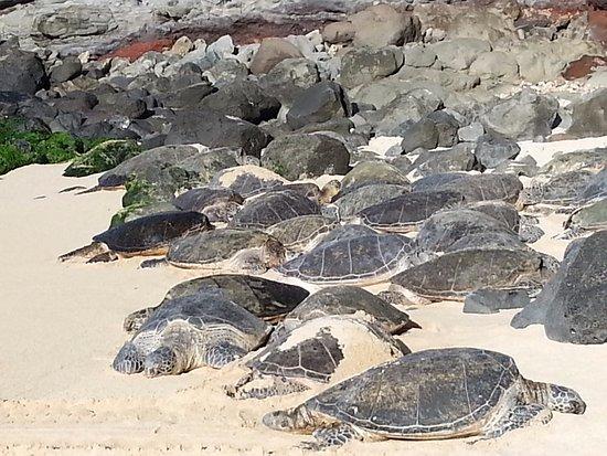 Haiku, HI: Turtles near Paia.