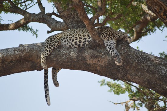 Leopard In A Acacia Tree Picture Of Ecological Wilderness