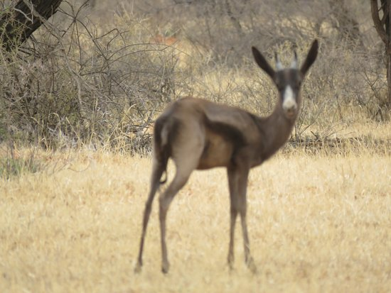 Northern Cape, Afrika Selatan: Black Springbok- so pretty