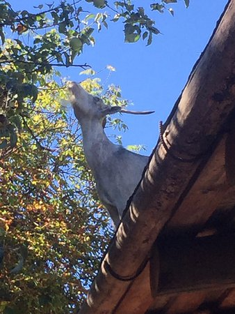 Goats on the roof,  The Old Country Market,  2310 Alberni Hwy, Coombs, British Columbia