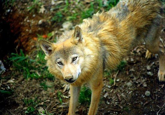 Arcturos Wolf Sanctuary
