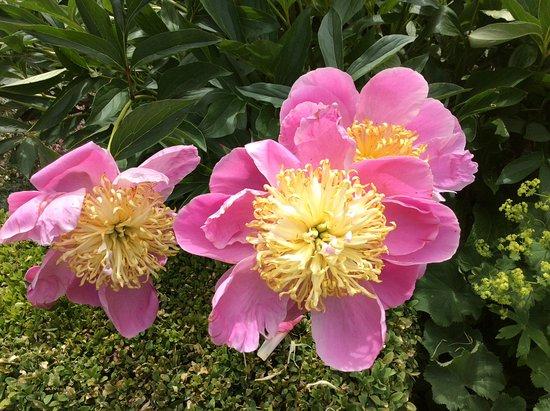 Flaxmere Garden : More peonies!