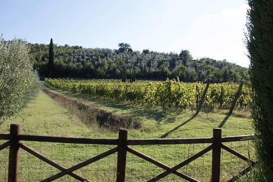 Castiglion Fiorentino, Italy: Vineyards (merlot) of Portagioia