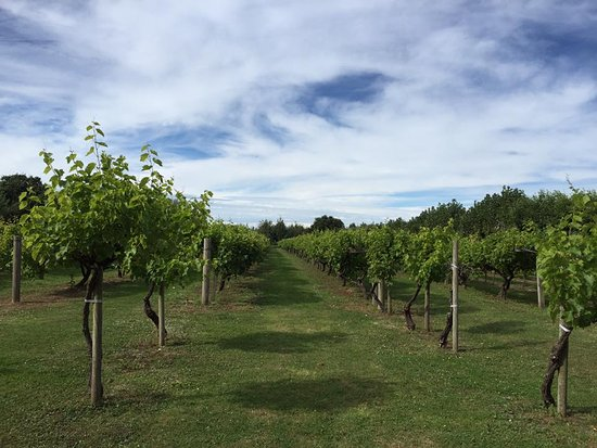 St. Mary, UK: Vines and a beautiful day