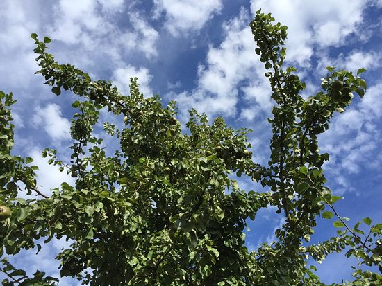 St. Mary, UK: Apple trees