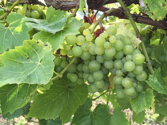 St. Mary, UK: Grapes