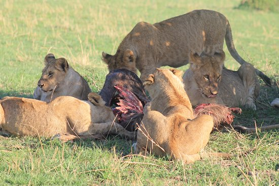 Sayari Camp, Asilia Africa: Lion family feeding after their hunt
