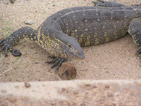 Caprivi Region, Namíbia: Water Monitor
