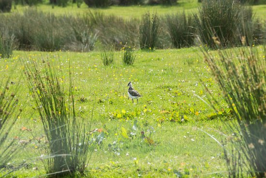 Slaidburn, UK: Baby Lapwings can be seen from the house