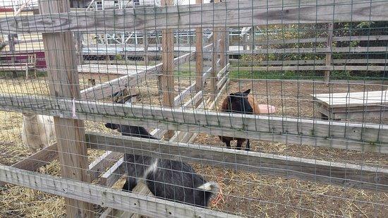 Tuckerton, Нью-Джерси: Goats
