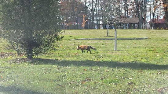 Verona Beach, NY: Fox sighting at the park